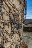 Dry vine grapes on ancient castle wall. Winery decoration, blue berries and branches without leaves. Italia Tuscany region Royalty Free Stock Photos