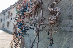 Dry vine grapes on ancient castle wall. Winery decoration, blue berries and branches without leaves. Italia Tuscany region Royalty Free Stock Photo