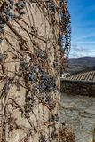 Dry vine grapes on ancient castle wall. Winery decoration, blue berries and branches without leaves. Italia Tuscany region stock photography