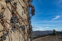 Dry vine grapes on ancient castle wall. Winery decoration, blue berries and branches without leaves stock photos