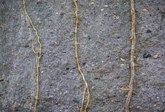Dry vine plant Stock Images