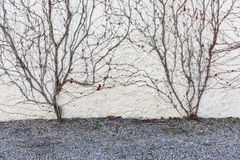 Dry Vines Cover The Wall Royalty Free Stock Image