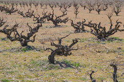 Dry vines. In Morales de Toro, Zamora, Spain Royalty Free Stock Photo