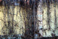 Are dry vines on wall background. Royalty Free Stock Image