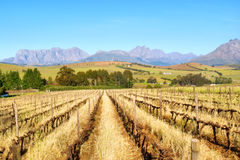 Dry Vineyards Against Mountains Royalty Free Stock Photos