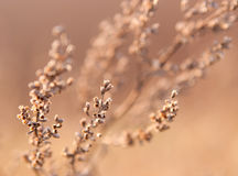 Dry Weed Background. Dry weeds in the light of the setting sun Royalty Free Stock Photos