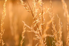 Dry weeds in the light of the setting sun. Dry prairie grass in the sunlight Royalty Free Stock Images