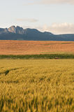 Dry wheat cereal fields view, and cloudy sky Stock Images