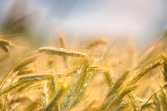 Dry wheat closeup photo Stock Image