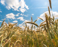 Dry wheat closeup photo Stock Images