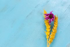 Dry wheat ears on blue background. Dry yellow wheat ears on a wooden blue background with purple flower, empty space stock photos