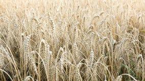 Dry wheat field Stock Photo