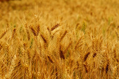 Wheat Background. Dry wheat field nature background Stock Photos