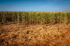 Dry wheat field. Wheat field on very dry soil Royalty Free Stock Images