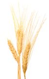 Dry wheat grains Stock Images