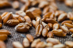 Dry wheat grains close up on blurred brown canvas Royalty Free Stock Photo