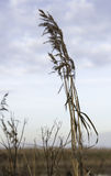 Dry wheat plant Stock Photo