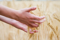Dry wheat's ear in the hands of kid Royalty Free Stock Photos