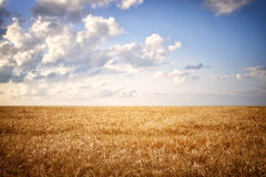 Dry wheat straw field and blue sky horizon line. Royalty Free Stock Photography