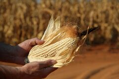 Free Dry White Maize Cob Royalty Free Stock Images - 191330069