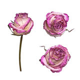 Dry white and pink rose isolated on white background. View from several sides. Stock Photo