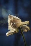 Dry white rose Royalty Free Stock Photos