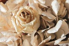 Dry white rose Stock Photo