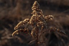 Dry wild flower in the setting sun stock image