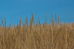 Dry wild grass Stock Photo