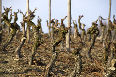 Dry wineyard. With blue sky Stock Photography