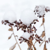 Dry winter flowers covered with snow Stock Photos