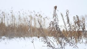 Dry winter grass sways in the wind in snow landscape nature Stock Image