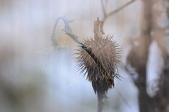 Dry winter thistle flower. Double exposure Royalty Free Stock Photos