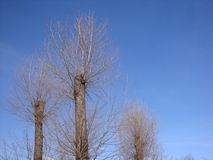 Dry winter tree with a sawn and overgrown with new branches of the blue sky royalty free stock photography