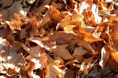 Dry winters leaves. Dry yellowish leaves in winter Royalty Free Stock Photo