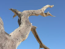 Dry wood. 1000 year old tree in Namib Desert, too dry to rot Royalty Free Stock Photography