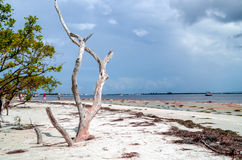 Dry wood beach. Dead dried out tree on Sanibel Island beach looking into the Gulf of Mexico stock photos