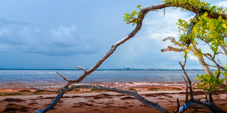 Dry wood beach. Dead dried out tree on Sanibel Island beach looking into the Gulf of Mexico royalty free stock images