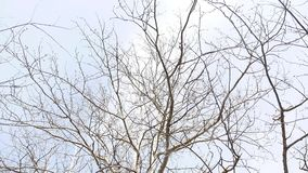 Dry wood. Dry tree branches swaying in the wind against the gray sky nature stock video