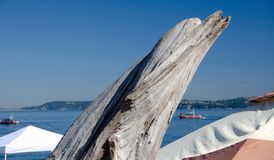 Dry wood piece in shape of a dolphin at Alki beach Royalty Free Stock Images