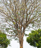 Dry wood. Tree spring in thailand stock photo