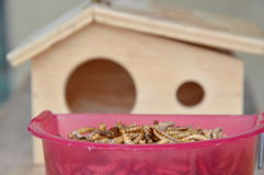 Dry worm for feeding rodent or bird with lizard and wooden house Stock Photo