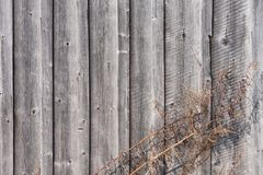 Dry wormwood on the background of a wooden boardwalk gray wall in a natural environment. A gray background of the boards. Dry wormwood on the background of a Royalty Free Stock Image