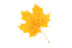 Dry yellow autumn maple leaf on a white background Stock Photo