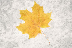 Dry yellow autumn maple leaf on a white background Stock Images