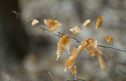 Dry yellow brown leafs on branch in forest Stock Image