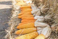 Dry yellow corn on straw at farm Stock Image