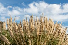 Free Dry Yellow Cortaderia Selloana Pumila Feather Pampas Grass With Is On A Blue Sky With White Clouds Background In The Park Royalty Free Stock Photos - 171245048