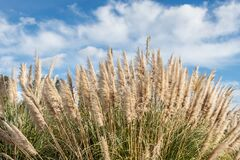 Free Dry Yellow Cortaderia Selloana Pumila Feather Pampas Grass With Is On A Blue Sky With White Clouds Background In The Park Stock Photos - 171463733
