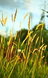 Dry yellow ears of corn and green grass Stock Images